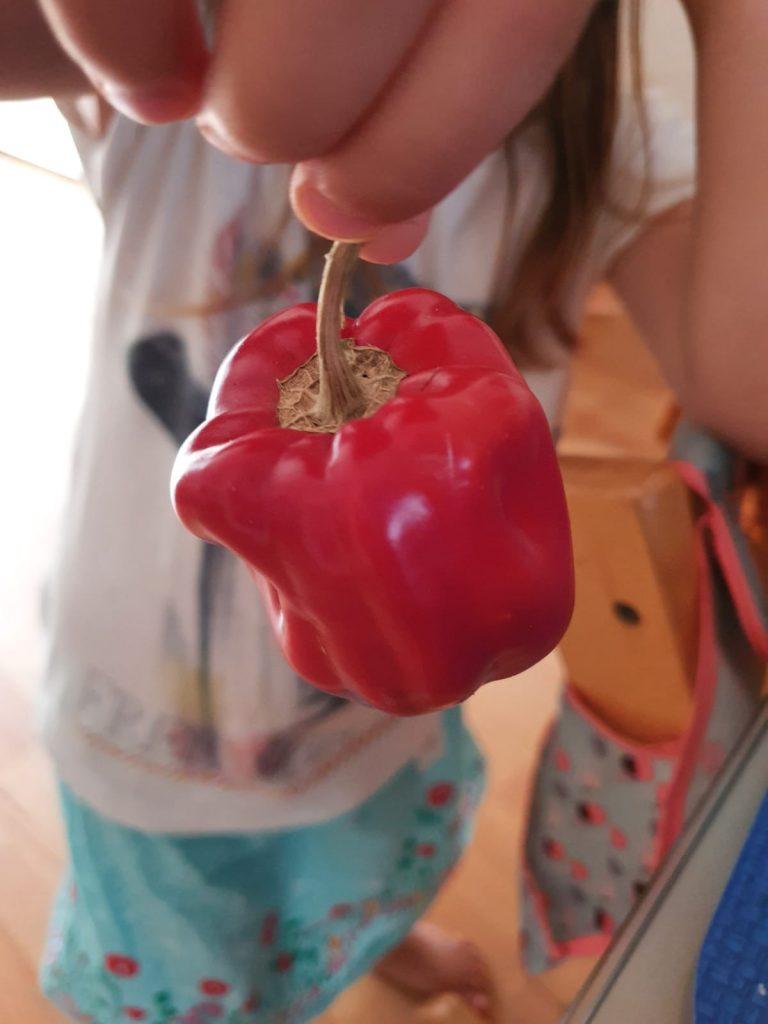 … und Paprika ernten.