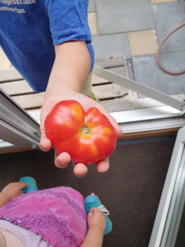 In unserem Garten konnten wir ein paar Tomaten...