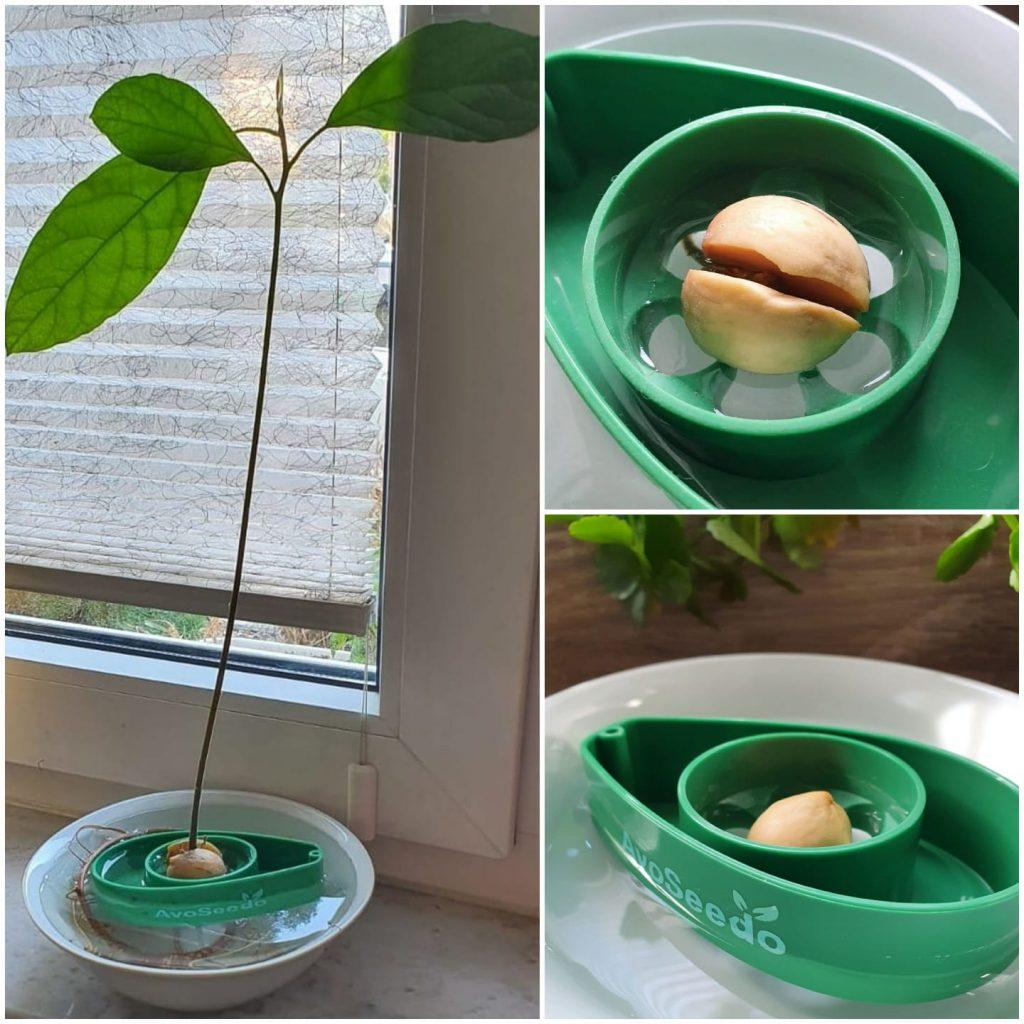Nachhaltigkeit im Familienleben: ein Avocado-Kern ist gekeimt und die Pflanze wächst.